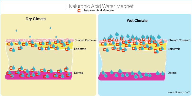 Hyaluronic Acid is a water magnet